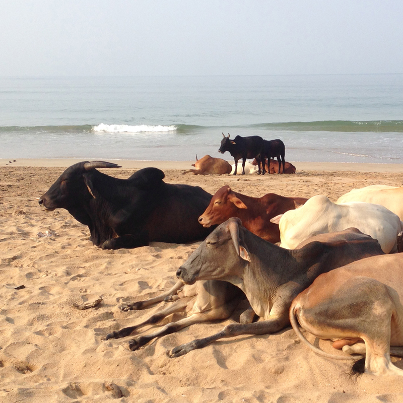 cows on the beach Goa